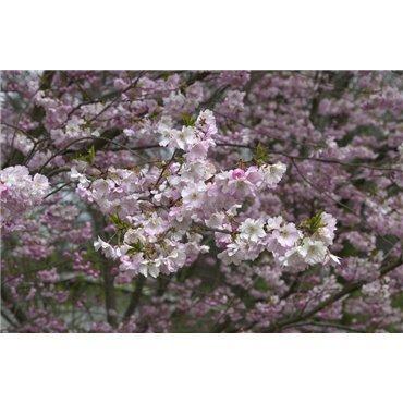 Prunus subhirtella Autumnalis (cerisier d'ornement, cerisier à fleurs) *