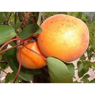 Aprikose Orange Wonder