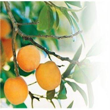 Abricot Précoce de Colomer *