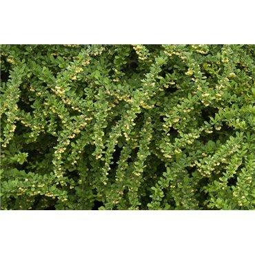 Berberis thunbergii (épine vinette)