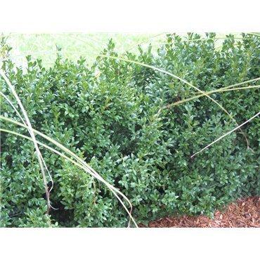 Buxus sempervirens (Buis)