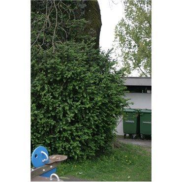 Buxus sempervirens Rotundifolia (Buis)