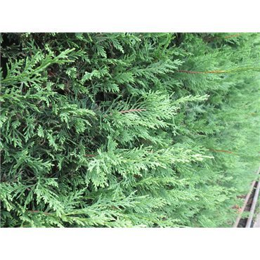 Cupressocyparis leylandii ( Leyland-Zypresse )
