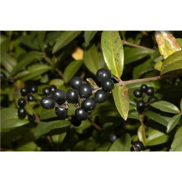 Ligustrum vulgare Atrovirens ( Liguster )