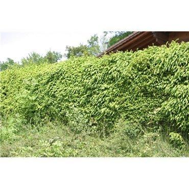 Picea abies ( Rottanne, Fichte )