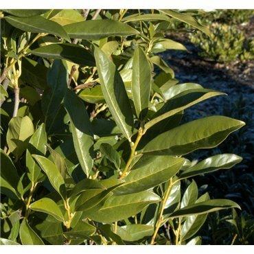 Prunus laurocerasus Reynvaanii (laurier cerise, laurelle)