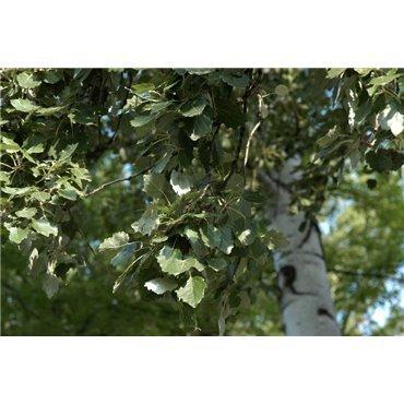 Populus tremula ( Zitterpappel )