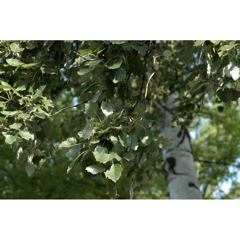 Populus tremula (peuplier tremble)