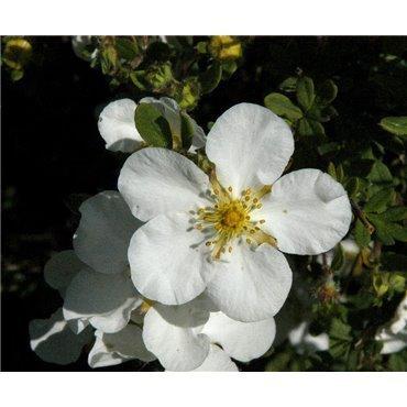 Potentilla fruticosa Abbotswood ( Fingerstrauch)