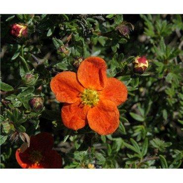 Potentilla fruticosa Red Ace  ( Fingerstrauch)