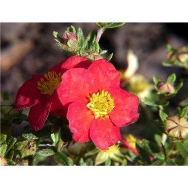 Potentilla fruticosa Red Robin (potentille)