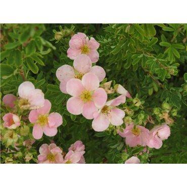 Potentilla fruticosa Pink Beauty (potentille)