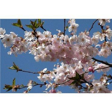 Prunus Accolade (cerisier d'ornement) *