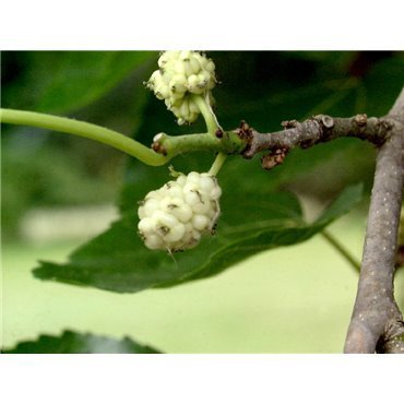 Morus alba ( weisser Maulbeerbaum )
