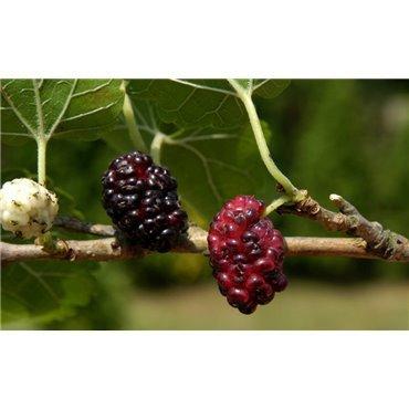 Morus nigra ( schwarzer Maulbeerbaum )