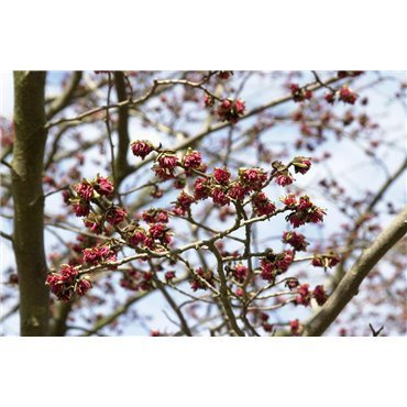 Parrotia persica (hêtre de Perse)