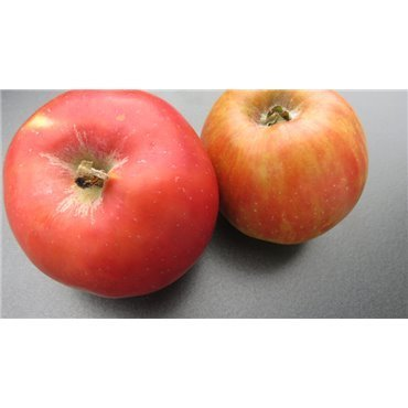 Apfel Roter Gravenstein
