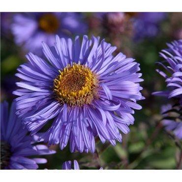 Aster novi-angliae Barr's Blue  ( Rauhblattaster )