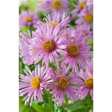 Aster novi-angliae Harrington's Pink (vendangeuse)