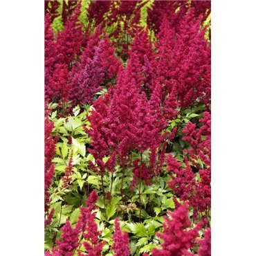 Astilbe arendsii Fanal