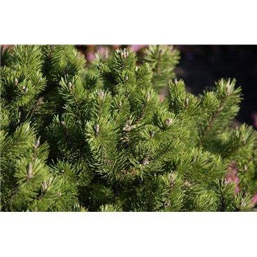 Pinus mugo var mughus (Pin des montagnes)