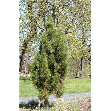 Pinus nigra Fastigiata ( Schwarzkiefer- Pyramide )
