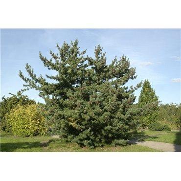 Pinus parviflora Glauca ( Blaue Mädchenkiefer )