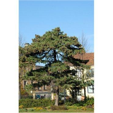 Pinus peuce (Pin de Macédoine)