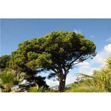 Pinus pinea  ( Pinie, Mittelmeerkiefer )