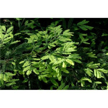 Sequoia sempervirens (sequoia toujous vert)