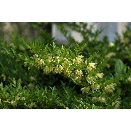 Lonicera pileata ( Immergrüne Kriech-Heckenkirsche )