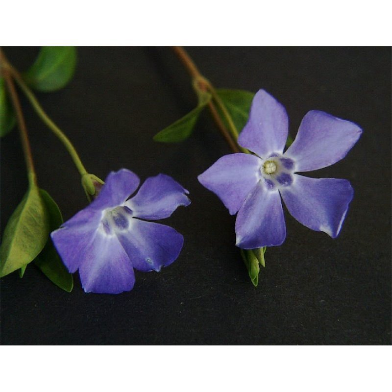 Vinca minor (pervenche)