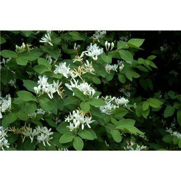Lonicera xylosteum ( gemeine Heckenkirsche, Hundskirsche )