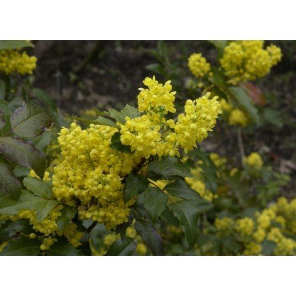 mahonia aquifolium gew hnliche mahonie kaufen bei. Black Bedroom Furniture Sets. Home Design Ideas