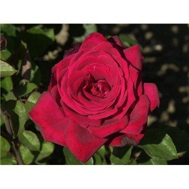 Rosier à grandes fleurs Burgund 81 (R)