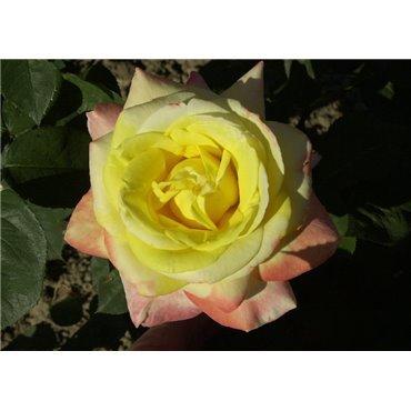 Rosier à grandes fleurs Canary (R)
