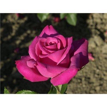 Rosier à grandes fleurs Caprice de Meilland (R)
