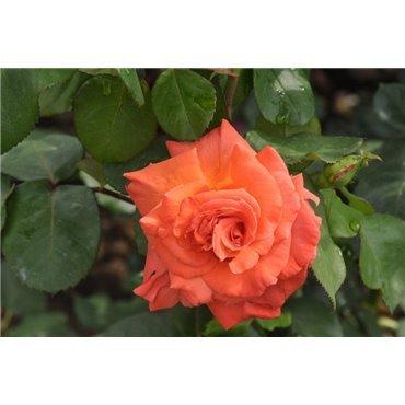 Rosier à grandes fleurs Christophe Colomb (R)