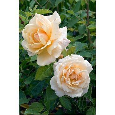 Rosier à grandes fleurs Diamond Jubilé (R)