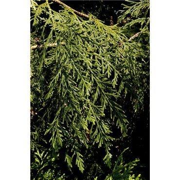 Thujopsis dolabrata  ( Hiba-Baum)