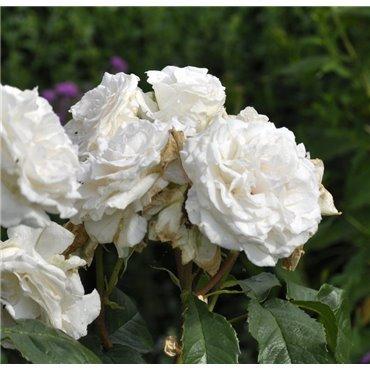 Rosier à grandes fleurs Annapurna