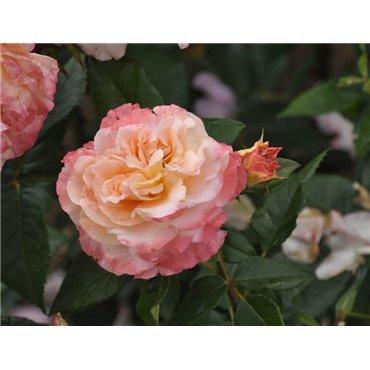 Rosier à grandes fleurs Augusta Luise