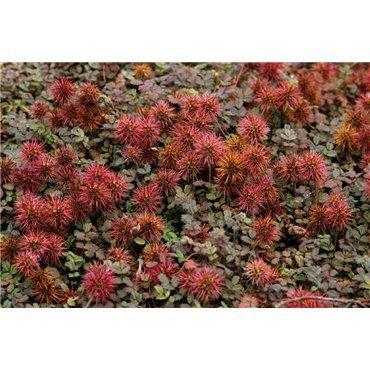 Acaena microphylla Kupferteppich ( Stachelnüsschen Kupferteppich )