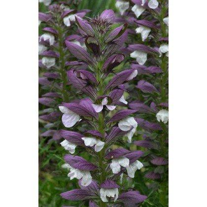 Acanthus spinosus (Acanthe)