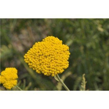 Achillea filipendulina Coronation Gold ( Schafgarbe )