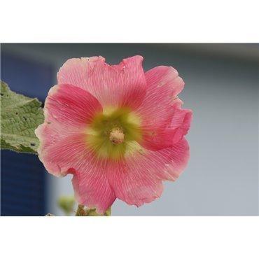 Althea rosea Rose  (rose trémière)