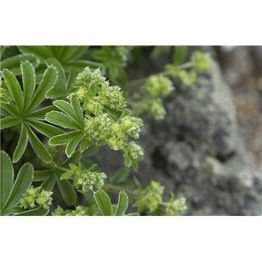 Alchemilla alpina (alchemille, porte-rosée)