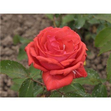 Rosier à grandes fleurs Duftwolke (R)