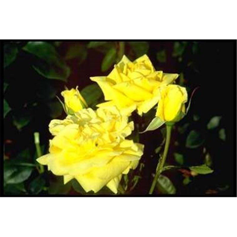 Rosier à grandes fleurs Gina Lollobrigida (R)