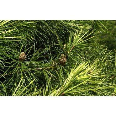 Sciadopitys verticillata ( Schirmtanne )